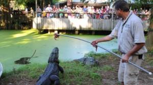 alligator_feed