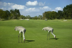 Sand-Hill-Cranes-on-Golf-Course